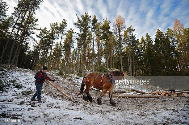 Simon Lenihan, a full time commercial horse logger, removes a Scots Pine tree from the Balmoral Estate with Salome Du Pre Renier, a 4 year old...