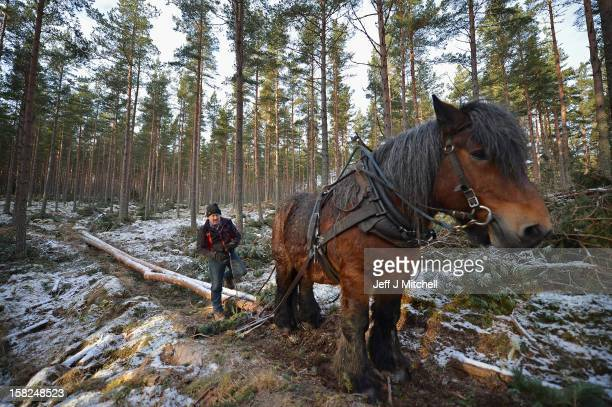 Simon Lenihan, a full time commercial horse logger, removes a Scots Pine tree from the Balmoral Estate with Sultan De Le Campagne a 15 year old...