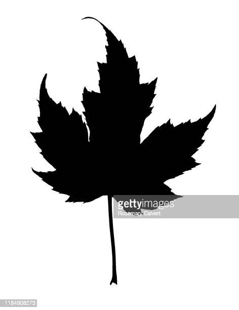 simple black maple leaf shape, on white. - digital enhancement stock pictures, royalty-free photos & images