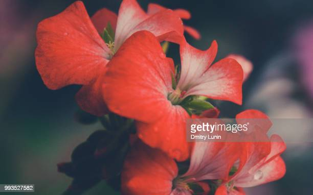 simple flower - lunin stock photos and pictures
