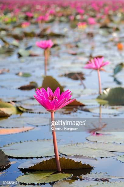 Simple  pink water lily in lake