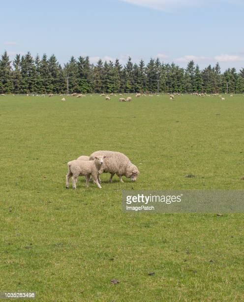 simple rural new zealand sheep farm scene with mother and young lamb - quebra ventos imagens e fotografias de stock
