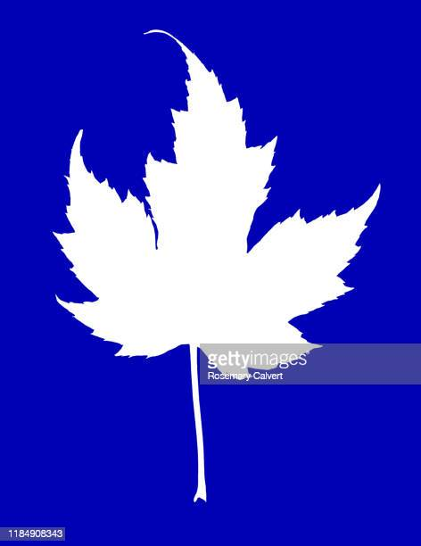 simple white maple leaf shape on royal blue. - digital enhancement stock pictures, royalty-free photos & images
