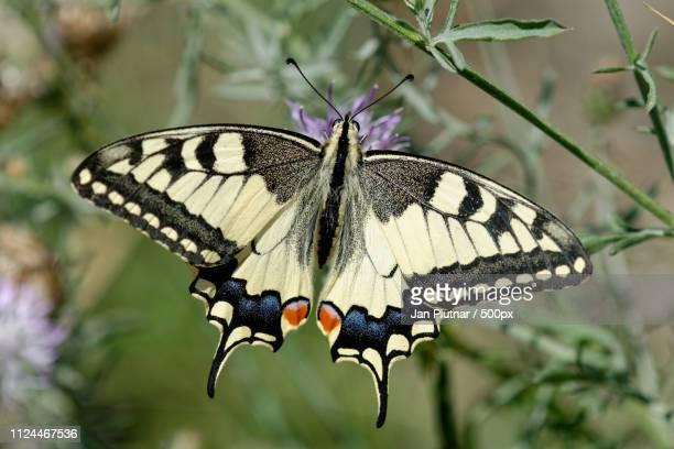 simply beautiful - farfalla a coda di rondine foto e immagini stock