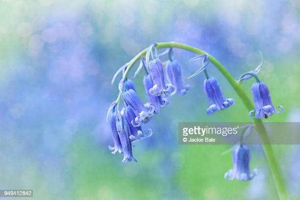 Simply bluebells