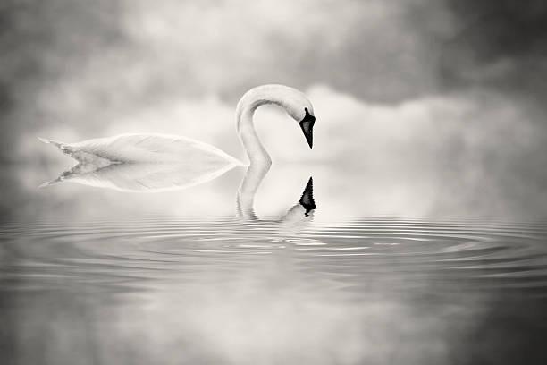 Simply swan