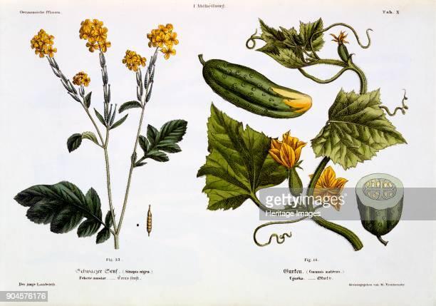 Sinapis nigra Cucumis Sativus from Der Junge Landwirth pub 1845