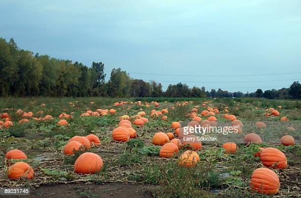 sincere pumpkin patch - pumpkin patch stock photos and pictures
