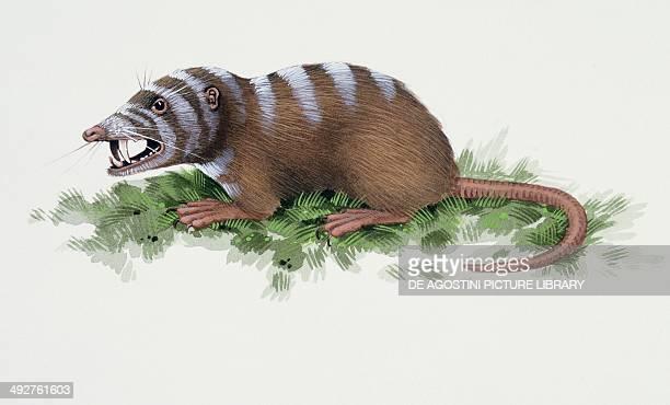 Sinclairella sp Apatemyidae Eocene Artwork by Kevin Lyles