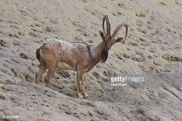 sindh ibex - sind stock pictures, royalty-free photos & images