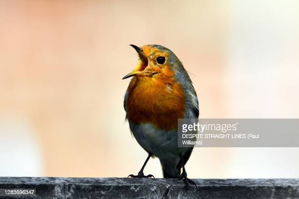 sing and the whole world sings with you - animals in the wild stock pictures, royalty-free photos & images