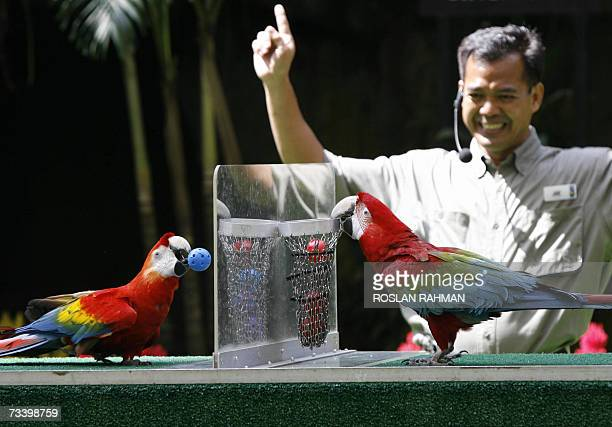 Two colourful Macaws entertain audiences with a game of basketball at the Jurong BirdPark in Singapore 23 February 2007. The birdpark which has as...