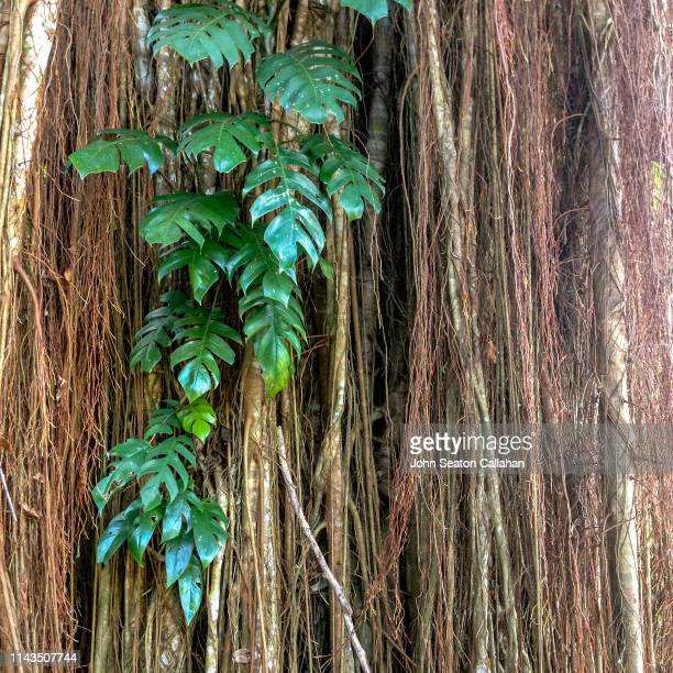singapore, tropical forest - fig tree stock pictures, royalty-free photos & images