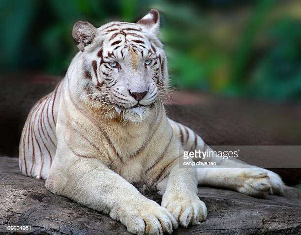 singapore zoo white tiger - white tiger stock photos and pictures
