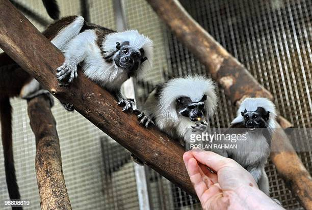 SingaporewildlifesciencetourismanimalsFEATURE by Philip Lim Photo taken on January 13 2010 shows three little cottontop tamarind being fed by a care...