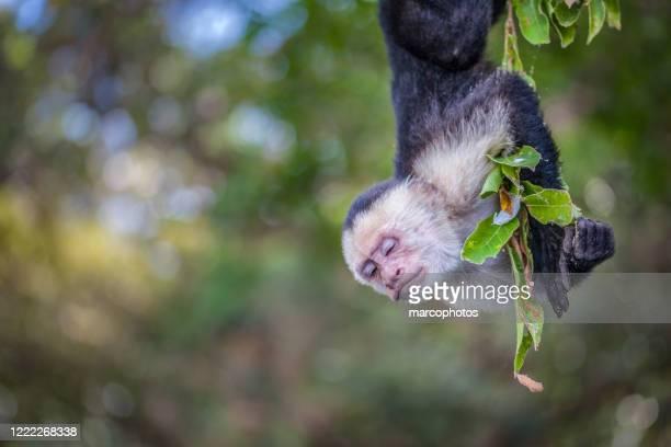 singe capucin, cebus imitator, panamanian white-faced capuchin - capuchin monkey stock pictures, royalty-free photos & images
