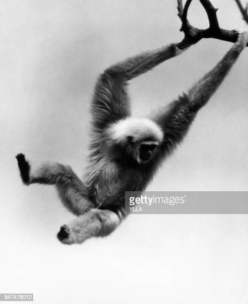 Singe gibbon accroché à une branche