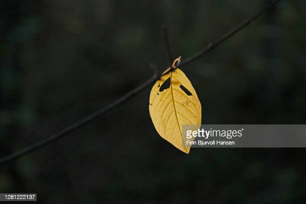 singel autumn yellow leaf hanging on a branch - finn bjurvoll stock pictures, royalty-free photos & images