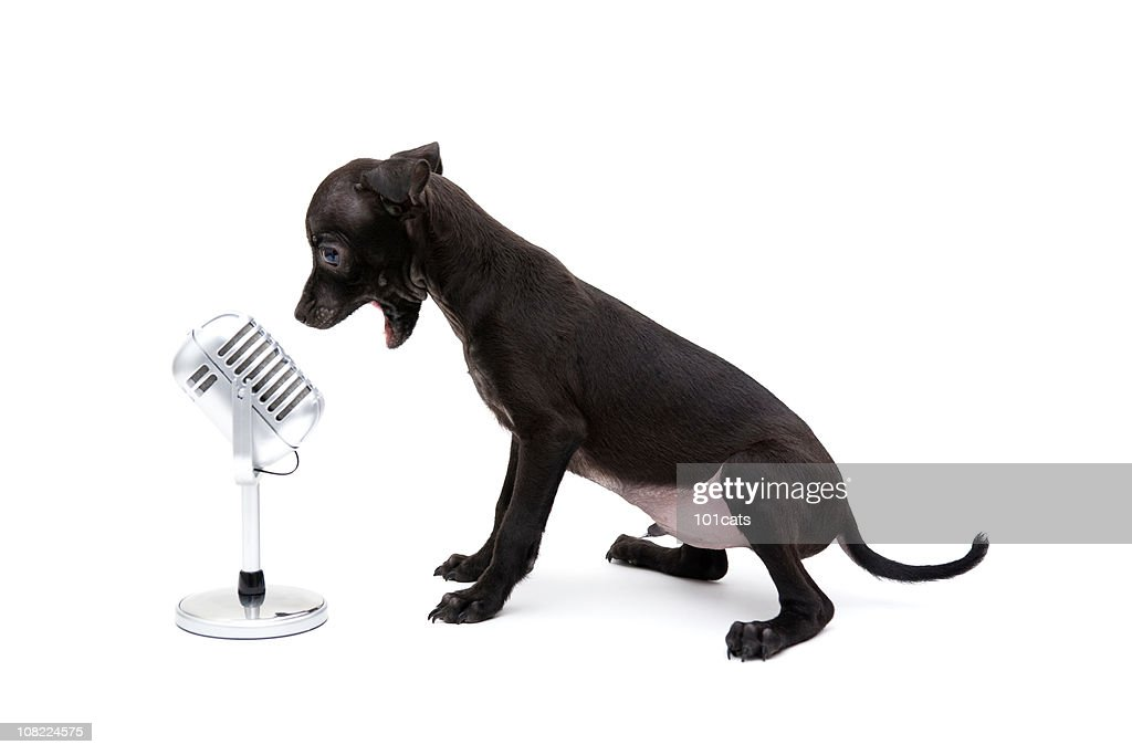 singer dog : Stock Photo