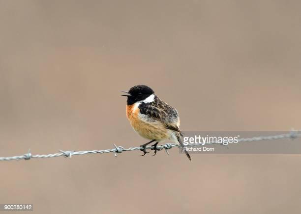 Singing African stonechat (Saxicola rubicola) sitting on barbed wire, Lower Rhine region, North Rhine-Westphalia, Germany