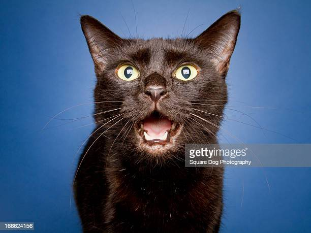 singing cat - black puss stock photos and pictures