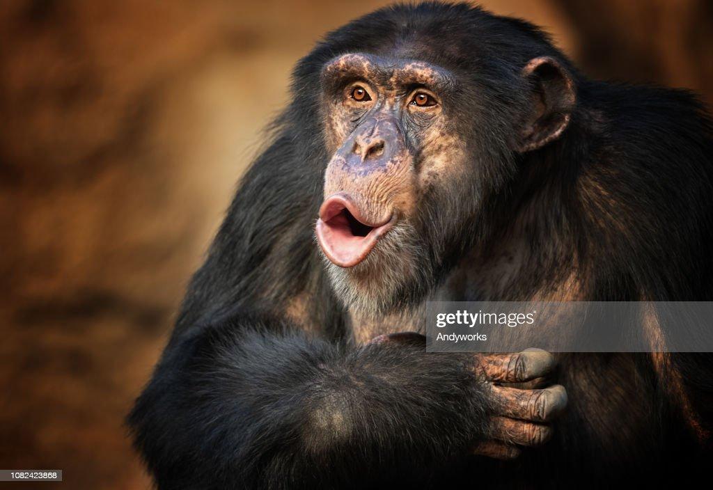 Singing common chimpanzee : Stock Photo
