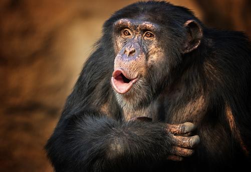 Singing common chimpanzee 1082423868