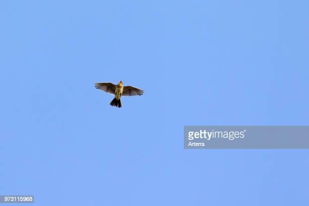 Singing Eurasian skylark / common skylark in flight against blue sky