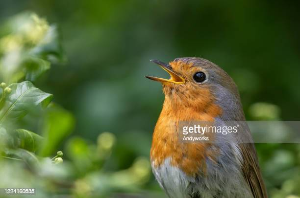 singing european robin - animal head stock pictures, royalty-free photos & images