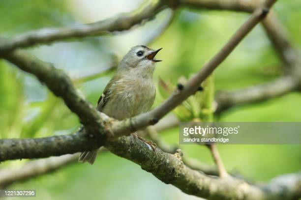 a singing goldcrest, regulus regulus, perching on a branch of a tree in spring. it is trying to attract a mate. - animal call stock pictures, royalty-free photos & images