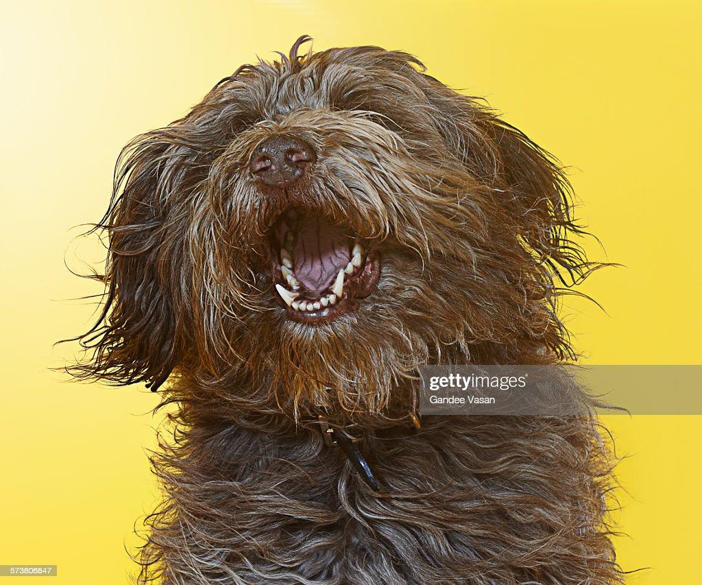 Singing Labradoodle : Stock Photo