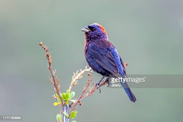 singing male varied bunting, arizona - arizona bird stock pictures, royalty-free photos & images