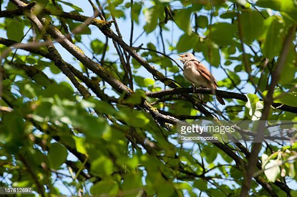 Singing nightingale