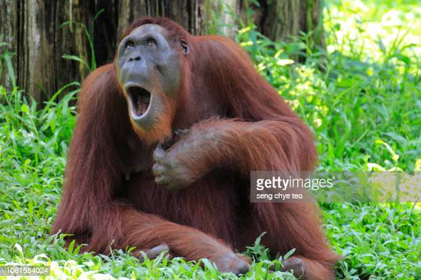 singing opera orang utan - funny animals stock pictures, royalty-free photos & images