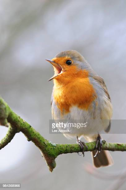 a singing robin on a branch. - birdsong stock pictures, royalty-free photos & images