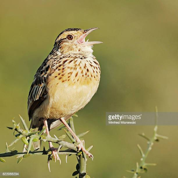 Singing Rufous-naped lark