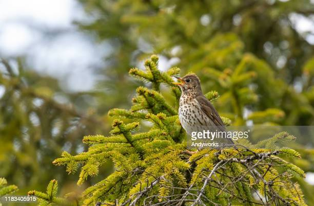 singing song thrush - thrush stock pictures, royalty-free photos & images