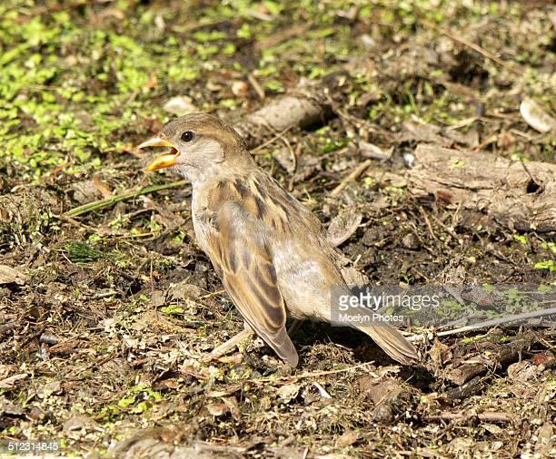 singing sparrow - ridgewood new jersey stock-fotos und bilder
