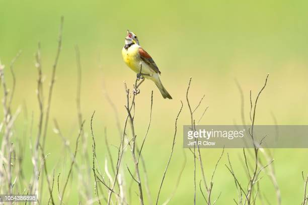 singing wild bird on the prairie too - songbird stock pictures, royalty-free photos & images