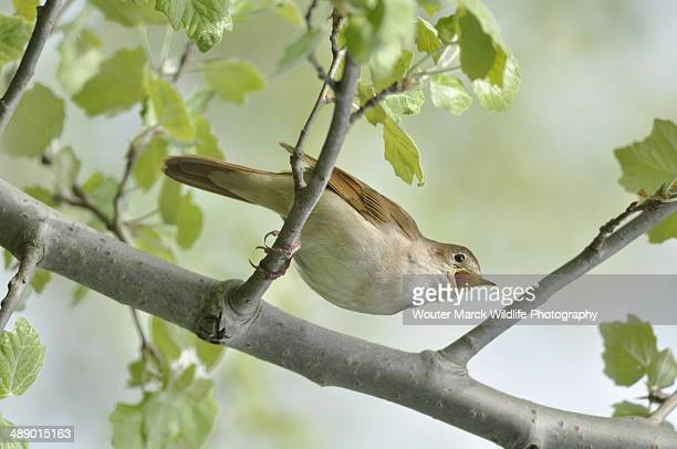 singinmg nightingale - nightingale bird stock pictures, royalty-free photos & images