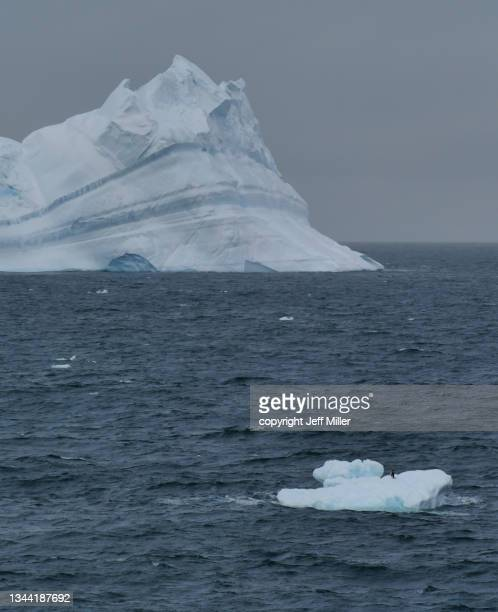 a single adélie penguins (pygoscelis adeliae) on a tiny iceberg with a looming iceberg in the distance, southern ocean, antarctica. - pack ice stock pictures, royalty-free photos & images