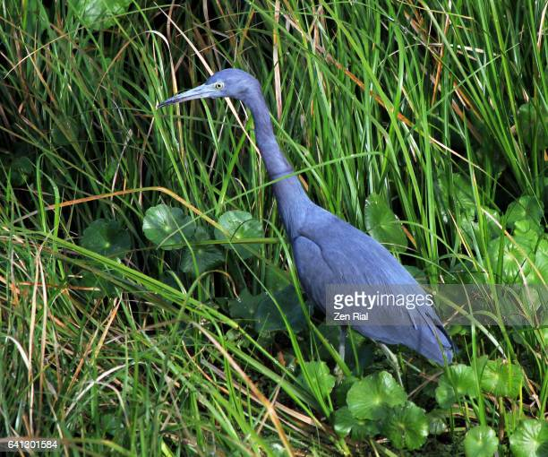 single adult little blue heron - egretta caerulea foraging in grassy area - gainesville florida stock photos and pictures