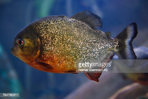 70 Red Bellied Piranha Photos And Premium High Res Pictures Getty Images