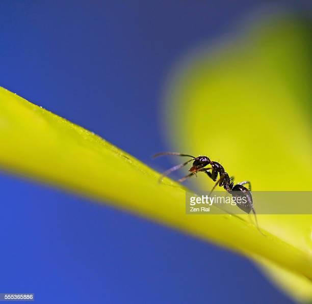A single ant on yellow leaf licks it's front leg - macro