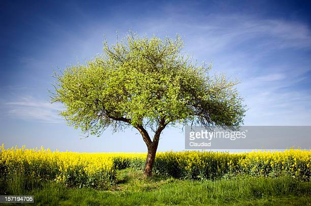 single apple tree - appelboom stockfoto's en -beelden