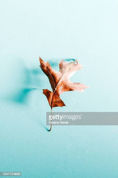 single autumn leaf - turquoise colored stock pictures, royalty-free photos & images