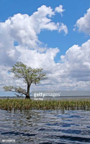a single bald cypress tree in blue cypress lake in indian river county, florida - bald cypress tree foto e immagini stock