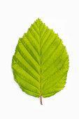 Single beech tree leaf (Fagus)