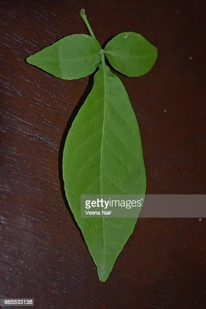 a single bel/bael/bilvapatra/bilva  leaf on a wooden table - maha shivaratri stock photos and pictures