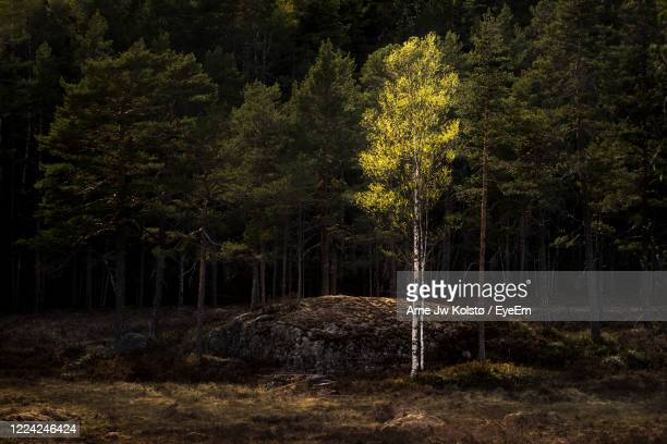 single birch in front of a dark pine wood, illuminated from the golden sunlight in the springtime - arne jw kolstø stock pictures, royalty-free photos & images